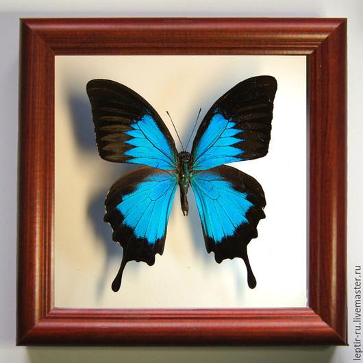 Парусник Улисс (Papilio ulysses). Индонезия.