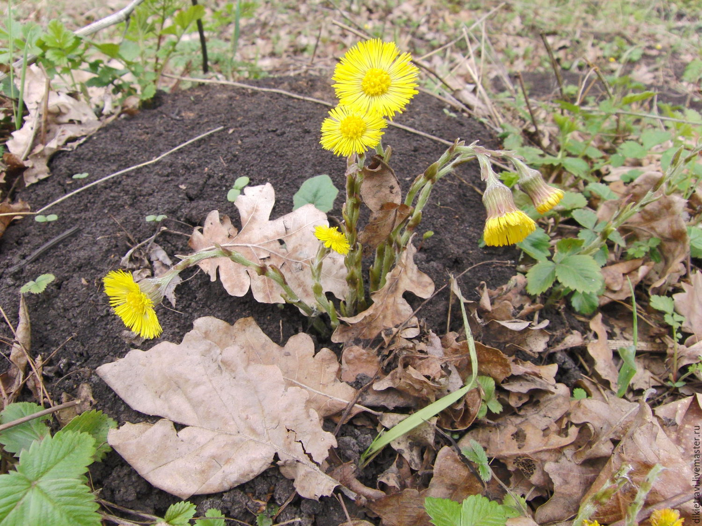 Фото мать и мачехи цветы листья