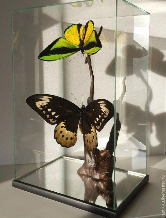 Пара Птицекрылок Голиаф : самец (яркий) и самка