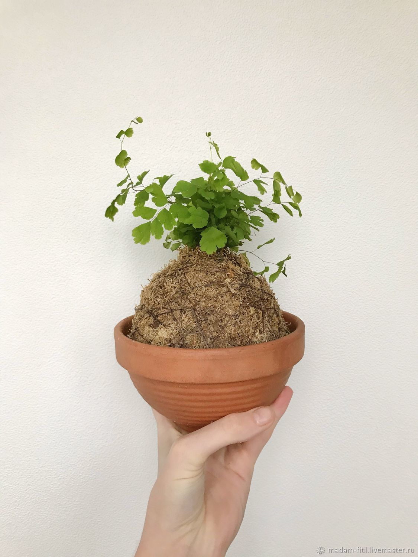 Кокедама Венерин волос/адиантум, растение в шаре, Растения, Москва, Фото №1