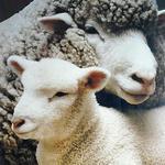 wool-v-orle