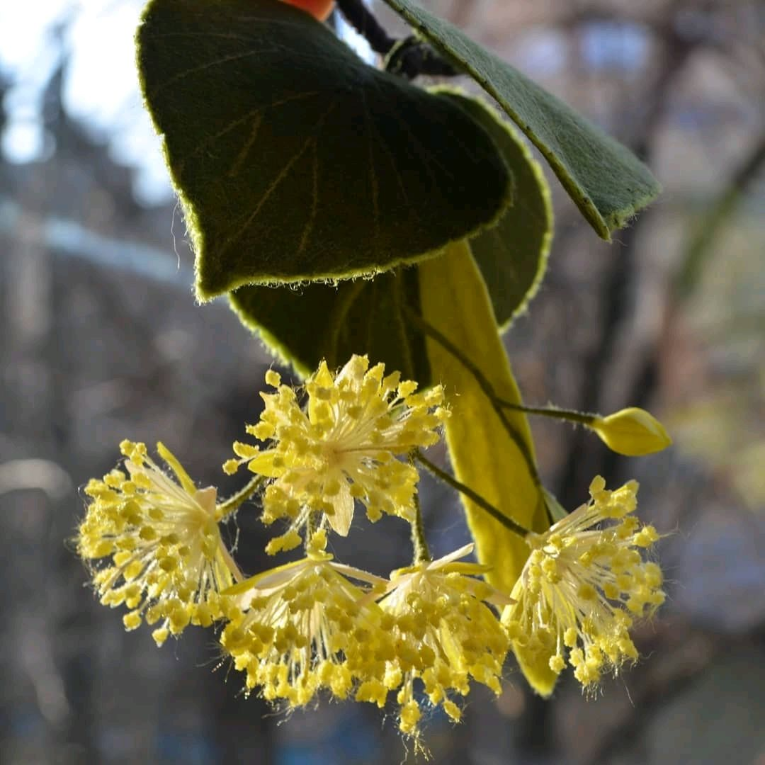 Липовый цвет, Брошь-булавка, Киев,  Фото №1