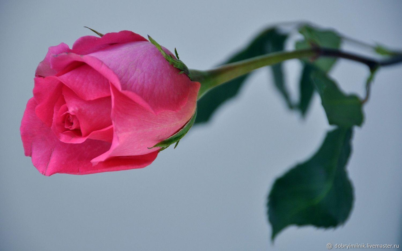 Отдушка викторианская роза для мыла, свечей, бомбочек (США), Материалы, Москва, Фото №1