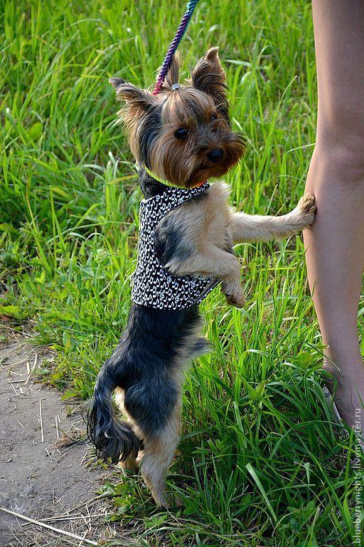 """Одежда для собак, ручной работы. Ярмарка Мастеров - ручная работа. Купить Жилетка для собаки """"Мелодия"""". Handmade. Чёрно-белый, дублерин"""