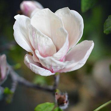 Flowers and floristry handmade. Livemaster - original item Flowers: Magnolia Of Sulanga. Handmade.