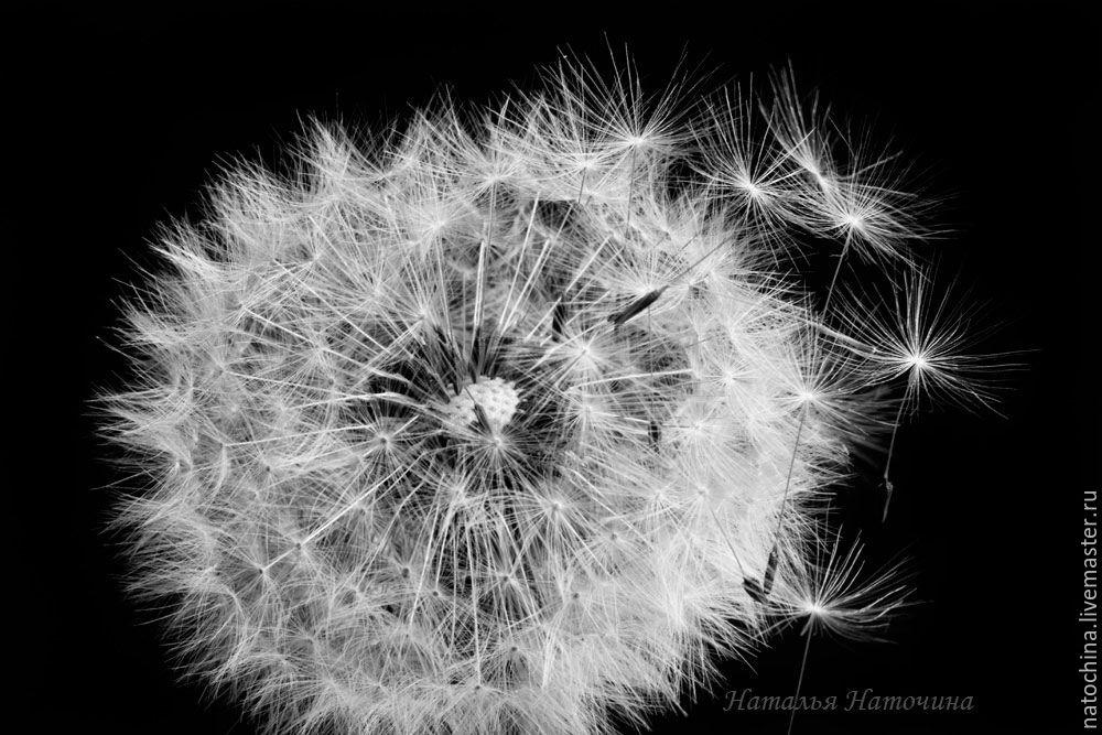 Фотография черно-белая Одуванчик, Фотокартины, Санкт-Петербург,  Фото №1