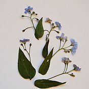 Материалы для творчества handmade. Livemaster - original item Dried flowers of forget-me-nots(bruners)Flat drying,5 sprigs. Handmade.