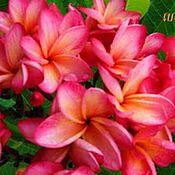 Цветы и флористика handmade. Livemaster - original item Plumeria Seeds / Frangipani Dangsom. Handmade.