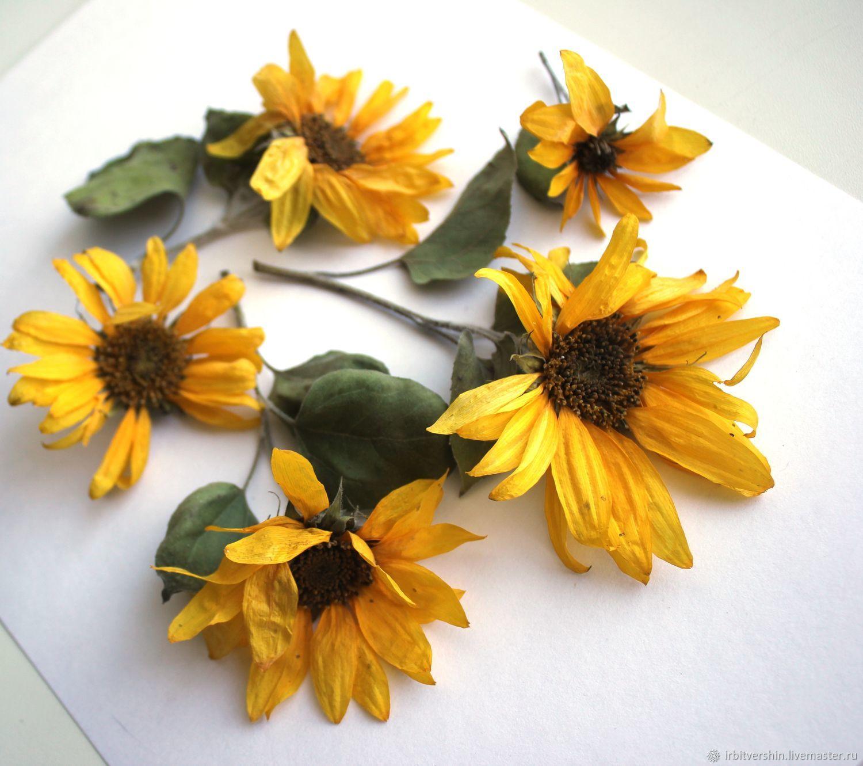Сухоцветы подсолнух сухоцвет объёмный 7шт 3-5см, Цветы сухие и стабилизированные, Лениногорск,  Фото №1