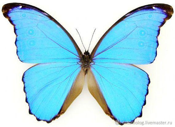 Тропическая бабочка в рамке под стеклом (Морфиды), Картины, Воронеж,  Фото №1