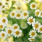 White daisy studio (whitedaisy) - Ярмарка Мастеров - ручная работа, handmade
