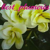 Цветы и флористика handmade. Livemaster - original item Plumeria seeds / Frangipani Lukmai. Handmade.