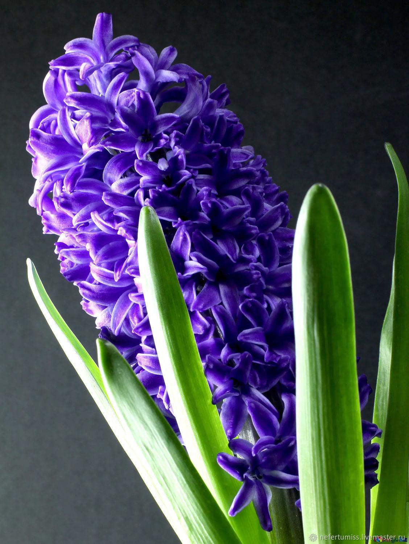 Цветок гиацинт в картинках