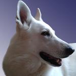 Белый волк - творческая мастерская - Ярмарка Мастеров - ручная работа, handmade