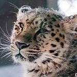 Снежный Барс (SnowBars) - Ярмарка Мастеров - ручная работа, handmade