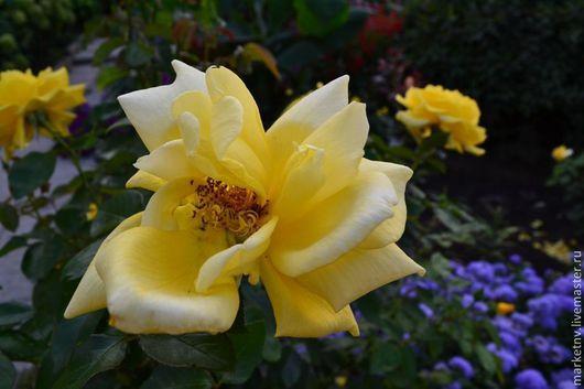 Фотокартины ручной работы. Ярмарка Мастеров - ручная работа. Купить Желтая роза.. Handmade. Желтый, природа, пейзаж, цветок, цветы
