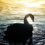 Черный лебедь (BackSwan) - Ярмарка Мастеров - ручная работа, handmade