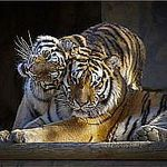 Елена Волчкова (tigra358) - Ярмарка Мастеров - ручная работа, handmade