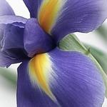 iris-chance