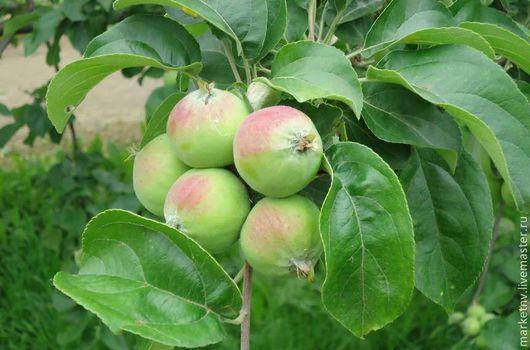 Фотокартины ручной работы. Ярмарка Мастеров - ручная работа. Купить Сочные яблочки. Handmade. Природа, пейзаж, цветы, зеленый, фотокартина