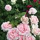 Английские розы Дэвида Остина - это мое главное увлечение. Представленные здесь розы я выращиваю уже три года. На фото розы: Eglantyne, Shakespeare 2000 и Charlotte. Вот оно лето во всей своей красе!