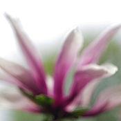 Картины и панно ручной работы. Ярмарка Мастеров - ручная работа Магнолия 1. Фотокартина. Handmade.