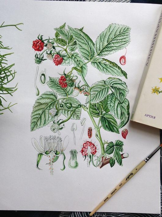 Картины цветов ручной работы. Ярмарка Мастеров - ручная работа. Купить Ботаническая иллюстрация. Малина. Handmade. Ботаника, акварель