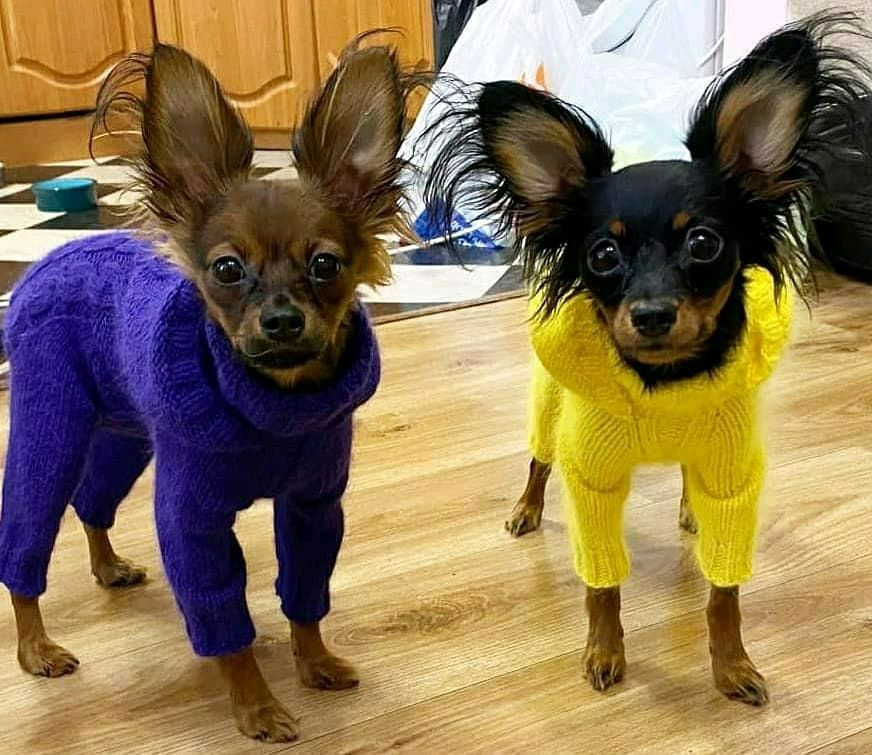 Mono push Up para perro-chicas, Pet clothes, Tomsk,  Фото №1
